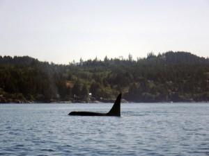 Orca pod 2