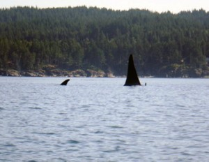 Orca pod 3